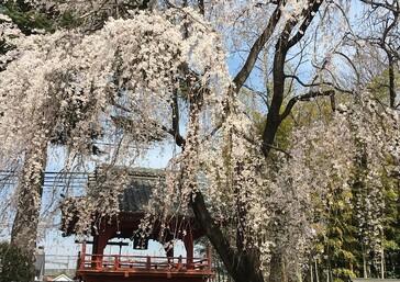 4月5日(水)季節も春になりました!! 上尾営業所近くのお寺の桜が満開に!... - お知らせのアイキャッチ画像